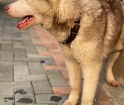 Nigerians react to an ad of a puppy that costs over 1 million naira