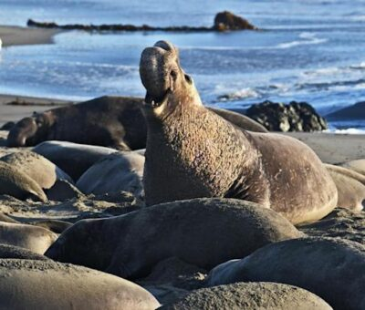 Man bags Three months imprisonment for killing an elephant seal in California