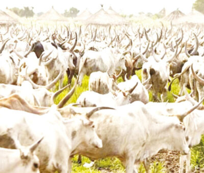 Open Grazing: Miyetti Allah Vows to increase price of cattle if Lagos State Govt passes Bill into Law